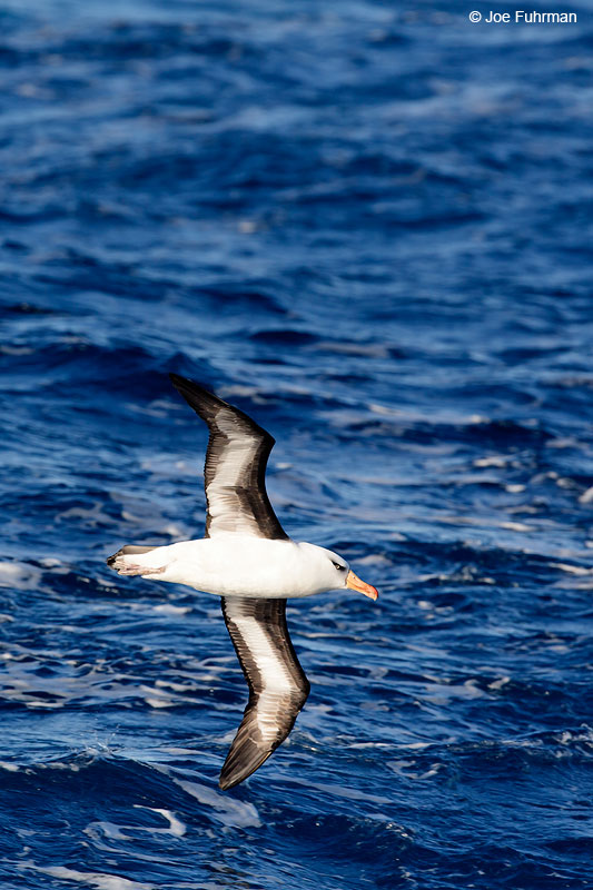 Black-browed_Albatross_07A5130