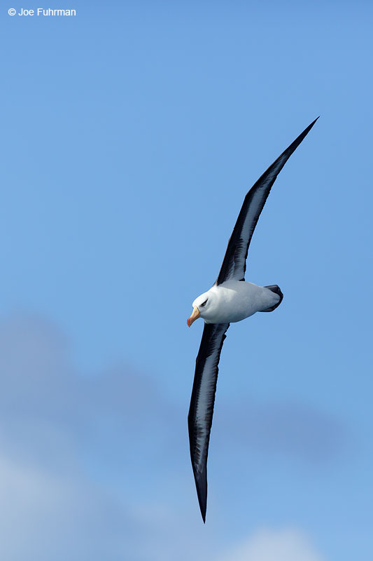 Black-browed_Albatross_07A5180