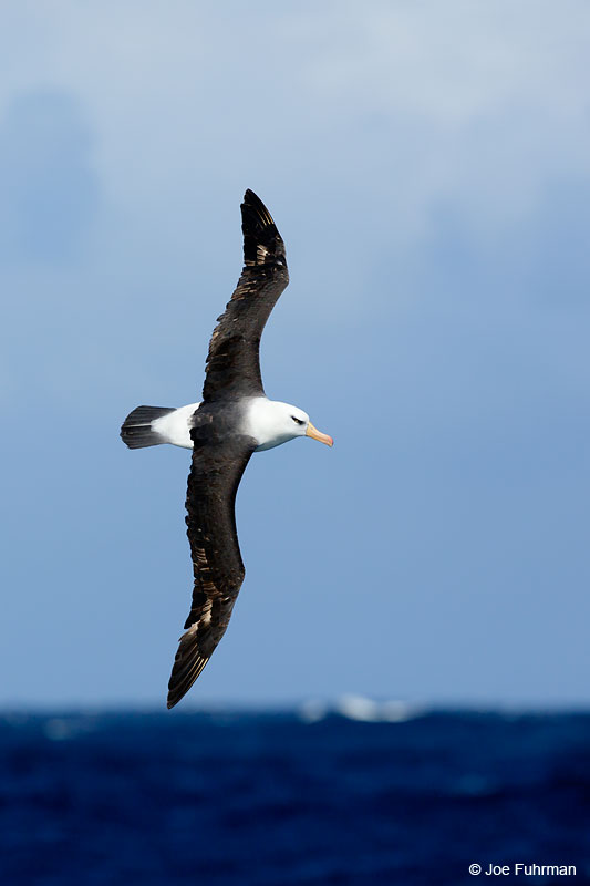 Black-browed_Albatross_07A5280