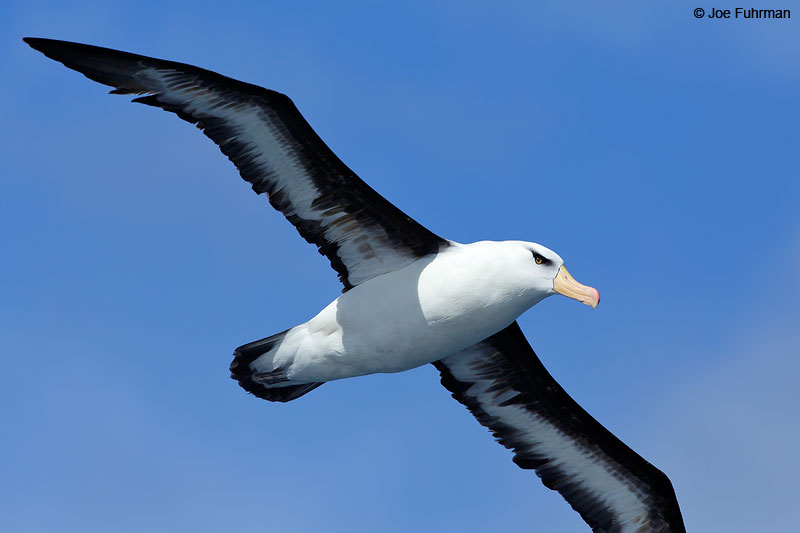 Black-browed_Albatross_07A5445