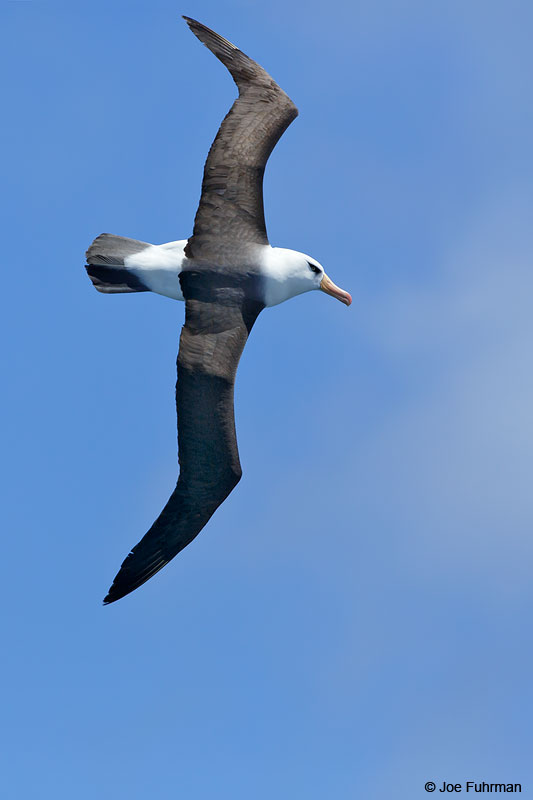 Black-browed_Albatross_07A5784