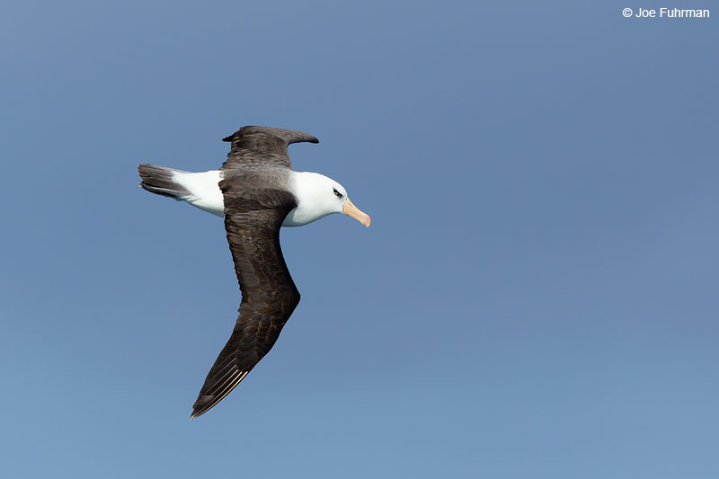 Black-browed AlbatrossThe Antipodes, New Zealand Nov. 2014