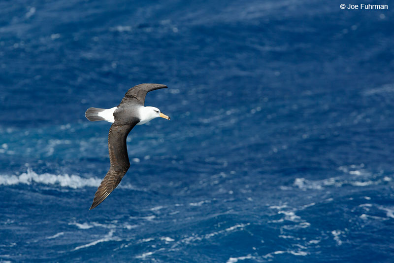 Black-browed Albatross The Antipodes, New Zealand Nov. 2014