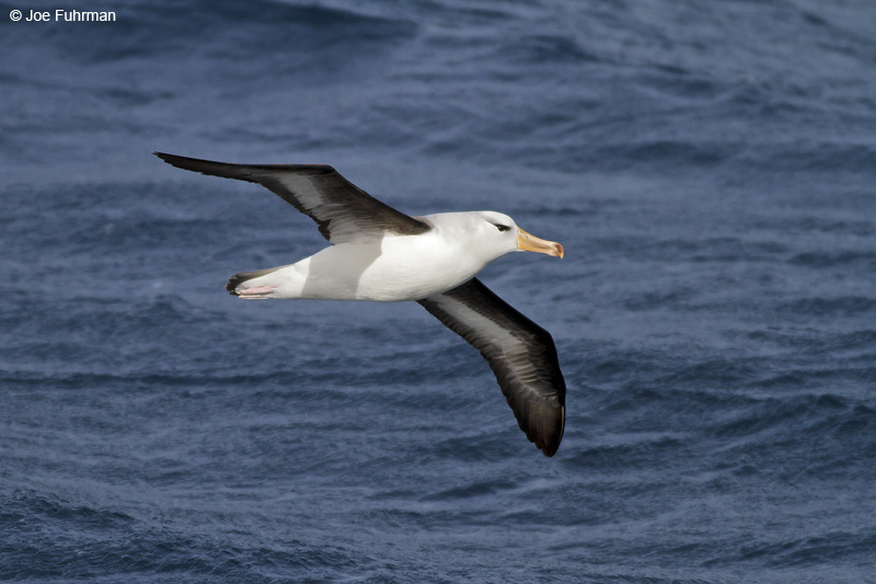Black-browed Albatross Drake Passage Nov. 2010
