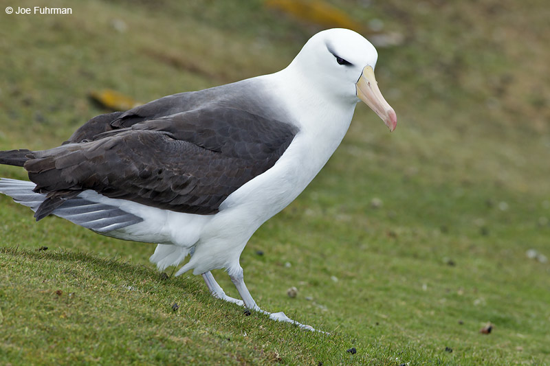Black-browed Albatross Saunders Island, Falkland Islands Nov. 2010