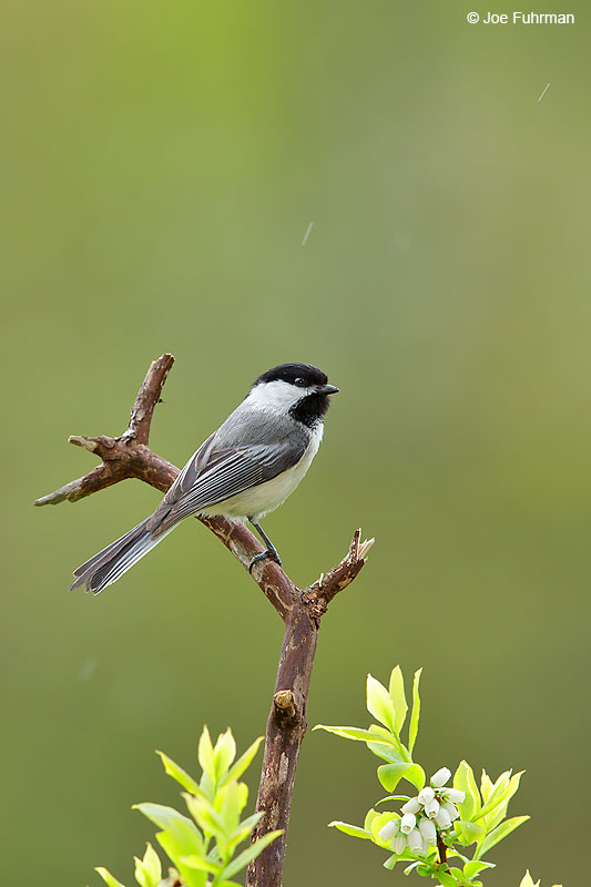 Black-capped Chickadee Lackawanna Co., PA May 2015