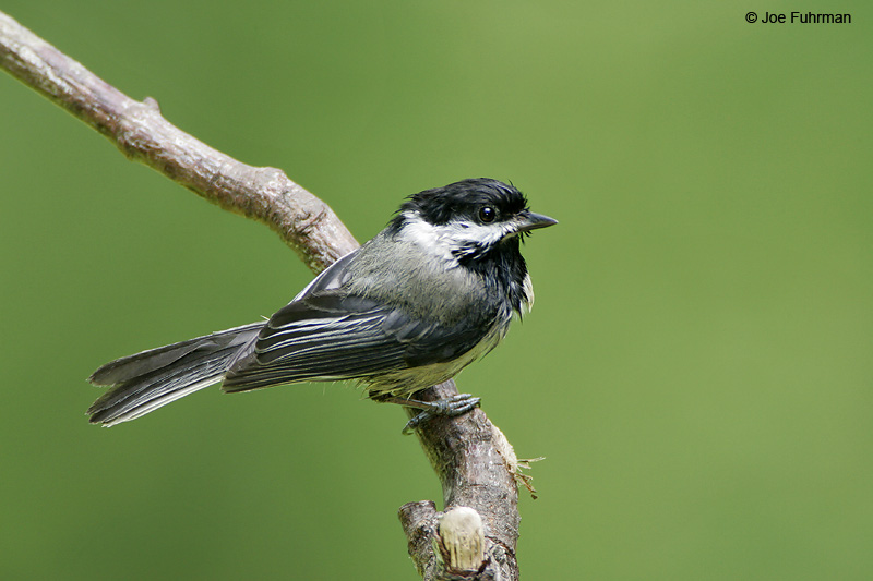 Black-capped Chickadee Kitsap County, WA June 2006