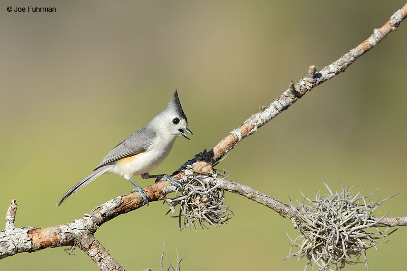 Black-crested Titmouse Hidalgo Co., TX   Feb. 2014
