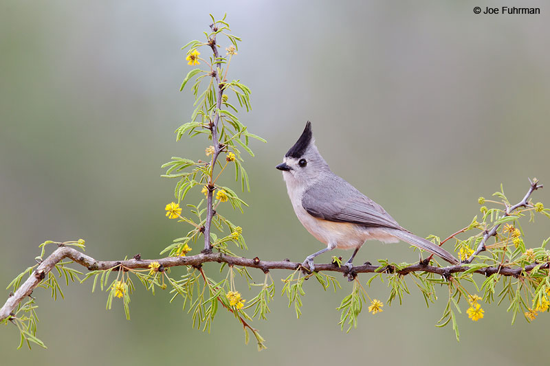 Black-crested Titmouse Starr Co., TX   March 2015