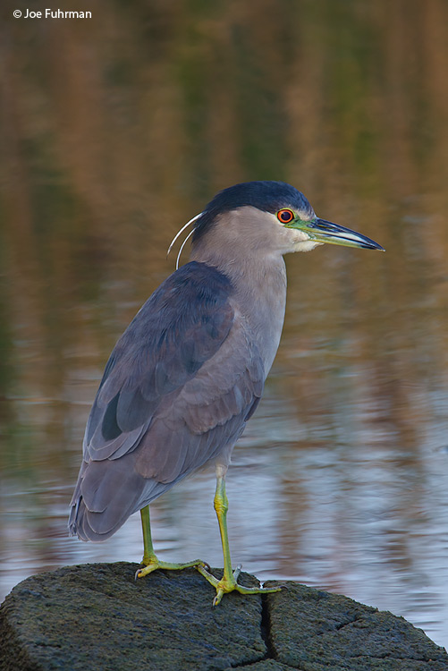 Black-crowned Night-Heron L.A., Co., CA   November 2008