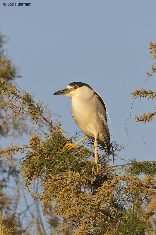 Black-crowned Night-Heron RIverside Co., CA    April 2012