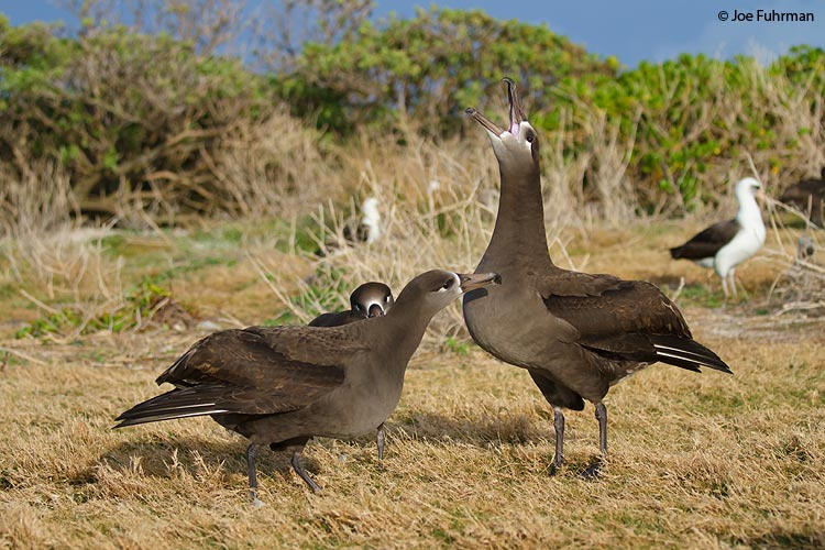 Black-footed Albatross Midway Atoll, HA March 2010