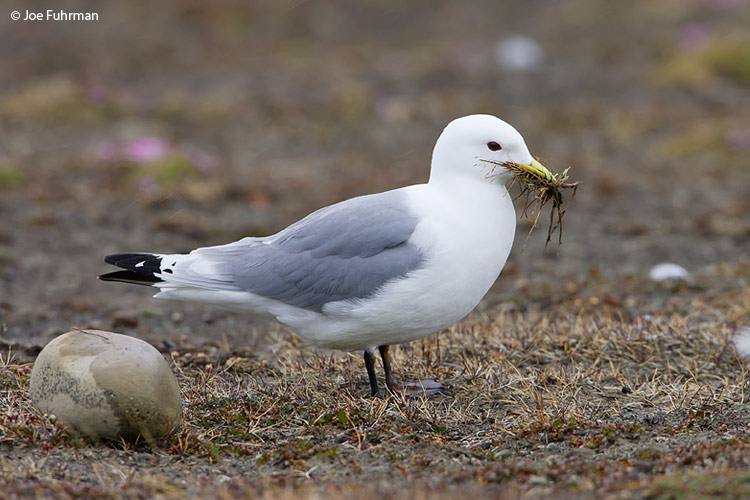 Black-legged Kittiwake Svalbard, Norway June 2008