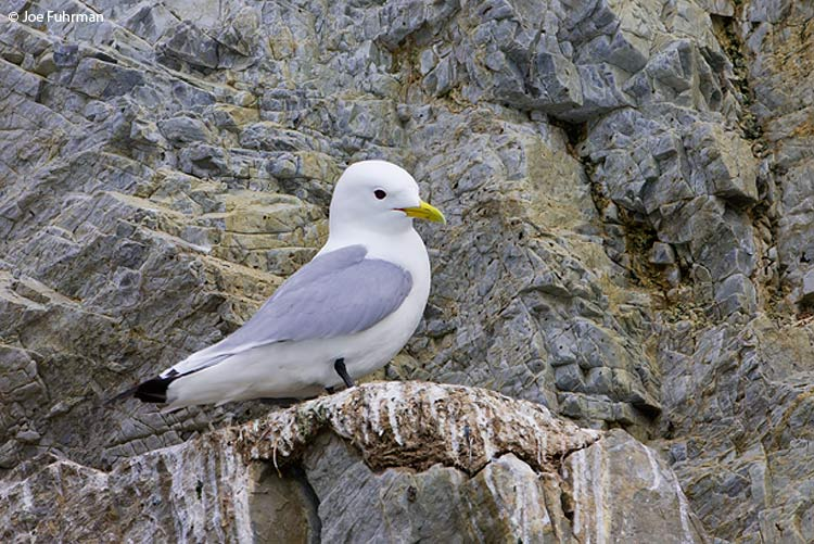Black-legged Kittiwake Svalbard, Norway July 2008