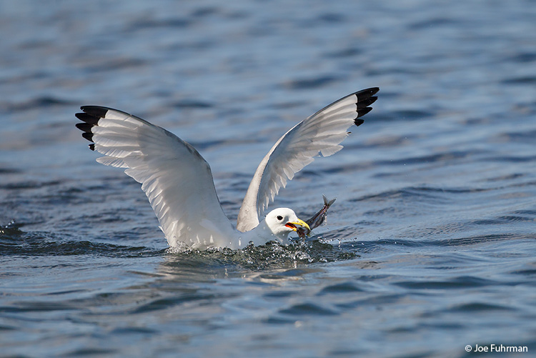 Black-legged Kittiwake Newfoundland, Canada August 2011