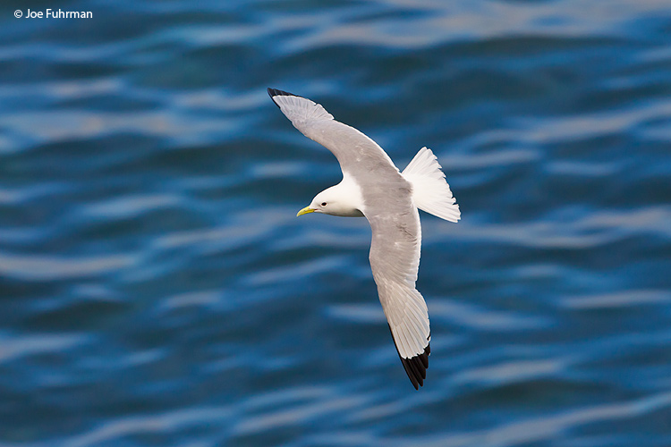 Black-legged Kittiwake St. Paul Island, AK Aug. 2010