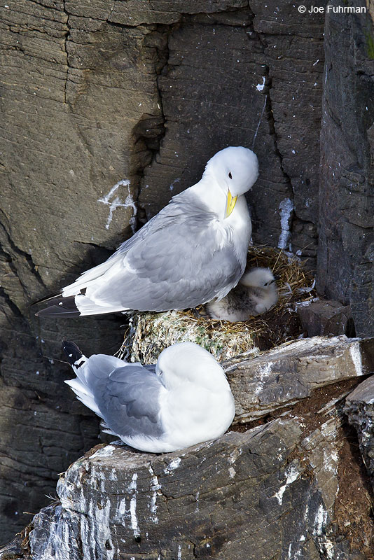 Black-legged Kittiwake (tridactyla sub species) Iceland July 2013