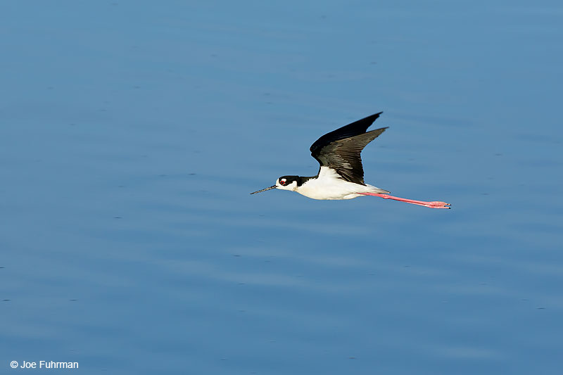 Black-necked Stilt Orange Co., CA Jan. 2016