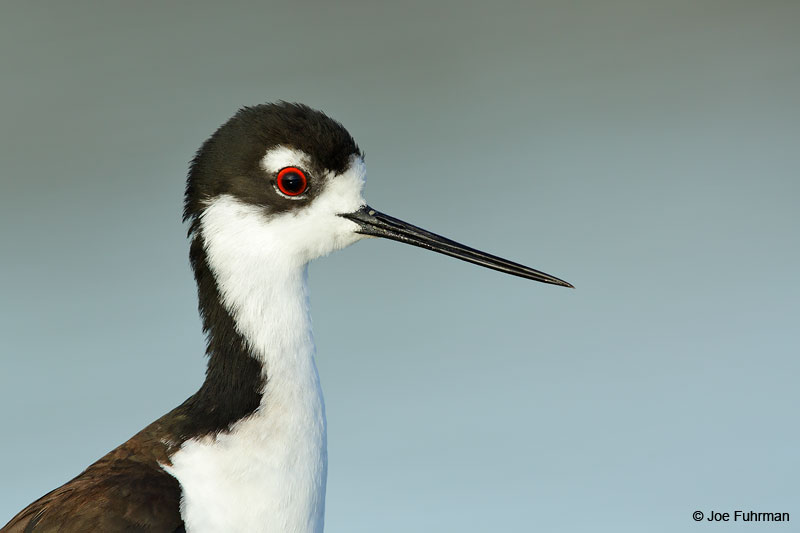 Black-necked Stilt Orange Co., CA Feb. 2015