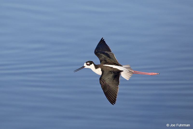 Black-necked Stilt Irvine, CA Dec. 2013