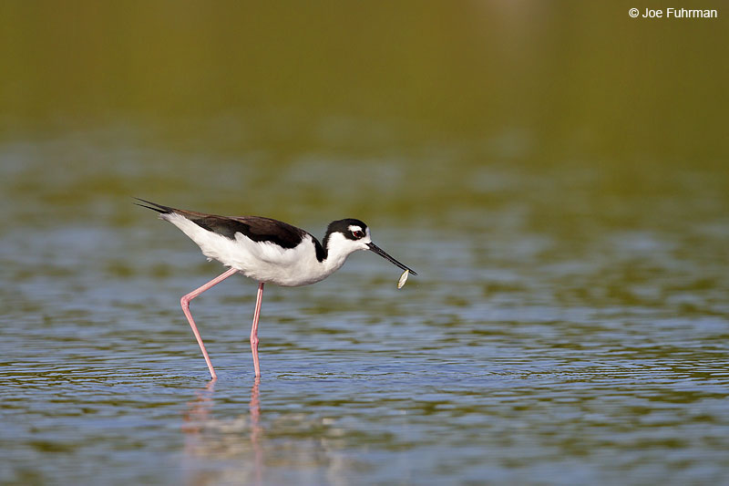 Black-necked Stilt Ameca River Lagoon-Nay., Mexico Dec. 2013
