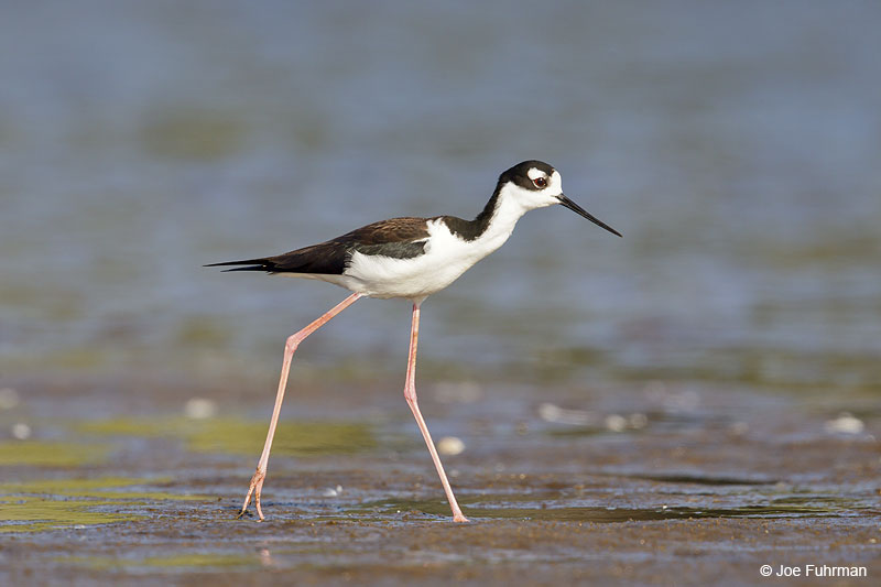 Black-necked Stilt Ameca River Lagoon-Nay., Mexico March 2013