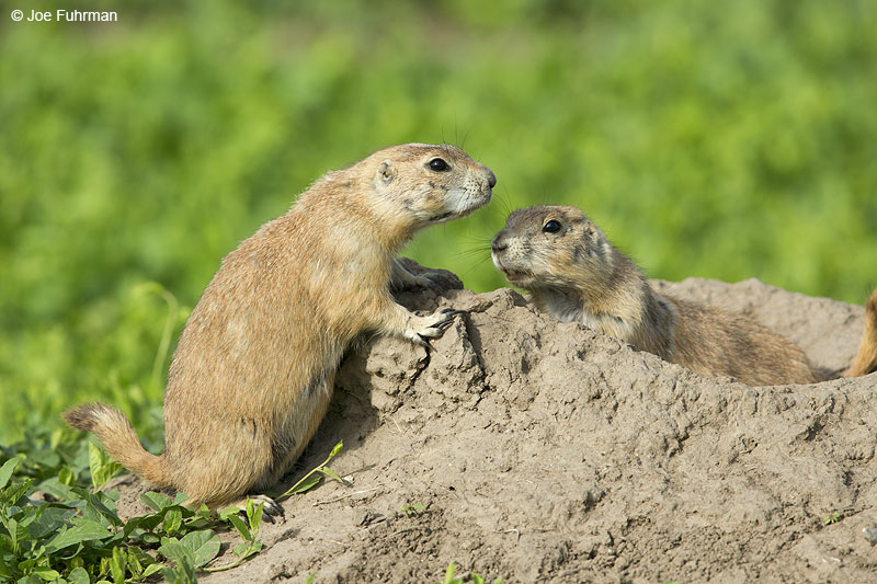 Black-tailed Prairie Dog Badlands N.P., SD May 2014