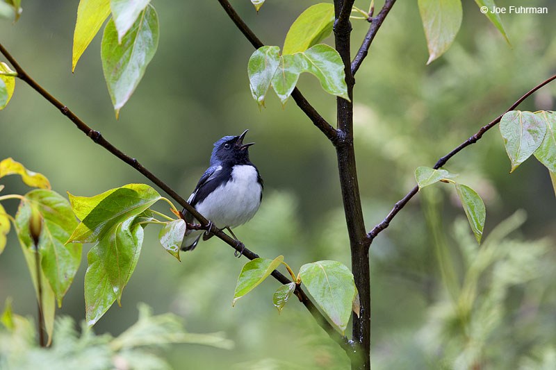 Black-throated Blue Warbler Piscataquis Co., ME May 2013
