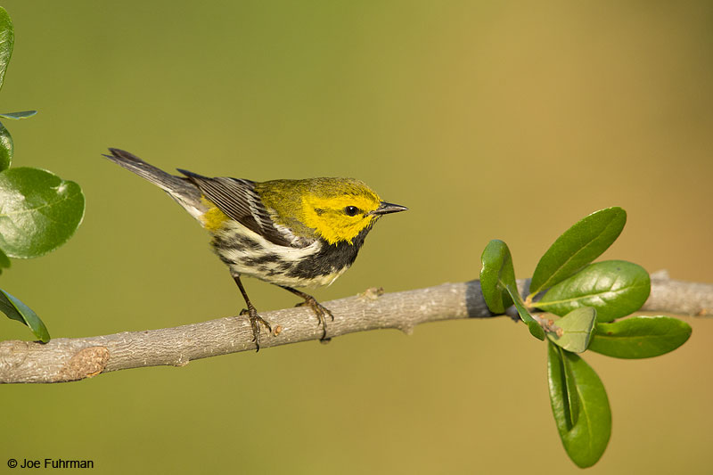 Black-throated Green Warbler Galveston Co., TX April 2014