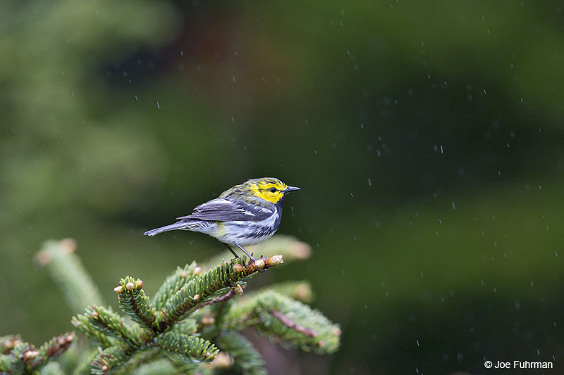 Black-throated Green Warbler Acadia N.P., ME May 2013