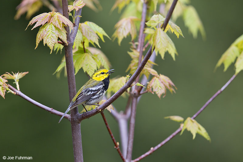 Black-throated Green Warbler Piscataquis Co., ME May 2013