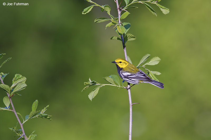Black-throated Green Warbler Cattaraugus Co., NY May 2012
