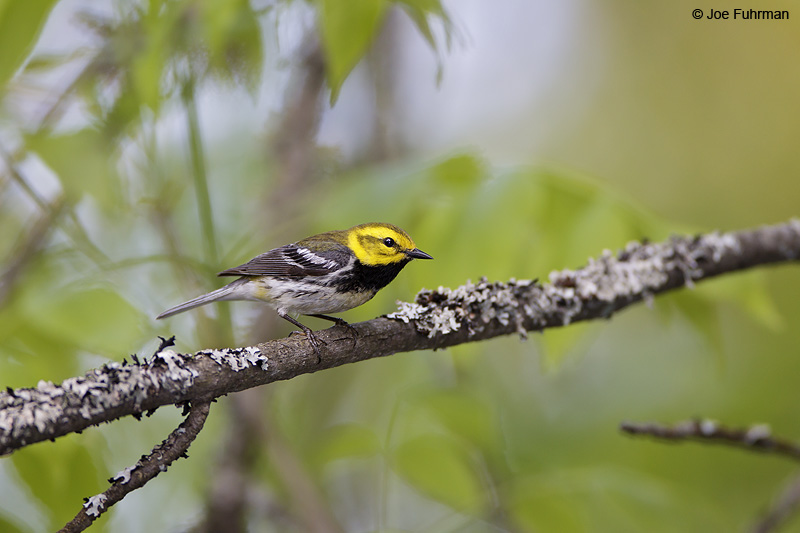 Black-throated Green Warbler Chippewa Co., Michigan May 2010