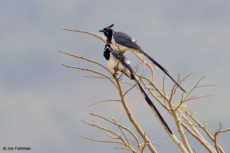 Black-throated Magpie-Jay El Tuito, Jal., Mexico   March 2013