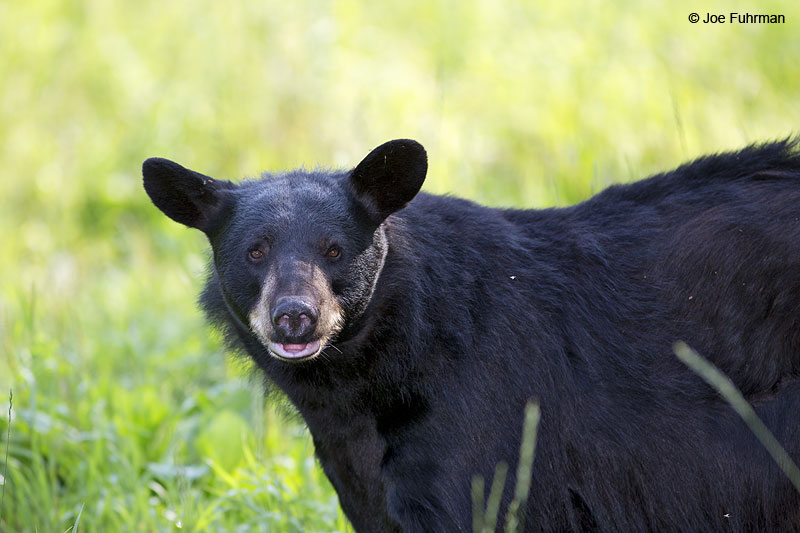 Black BearSt. Louis Co., MN   July 2014