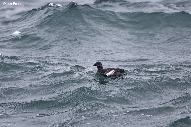 Black Guillemot Acadia N.P., ME May 2013