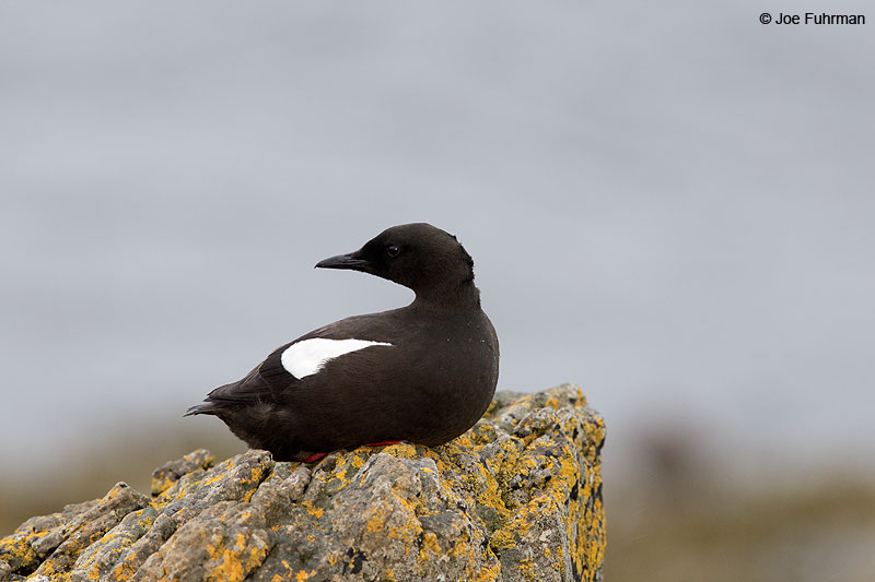 Black Guillemot (islandicus sub species) Iceland July 2013