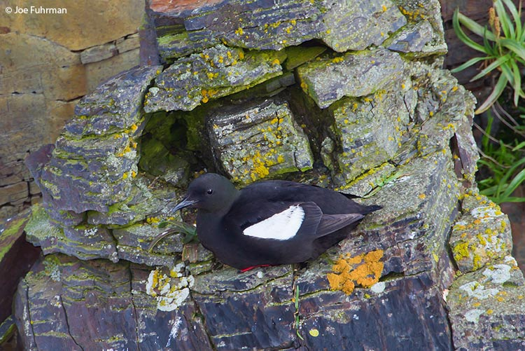 Black Guillemot Newfoundland, Canada August 2011