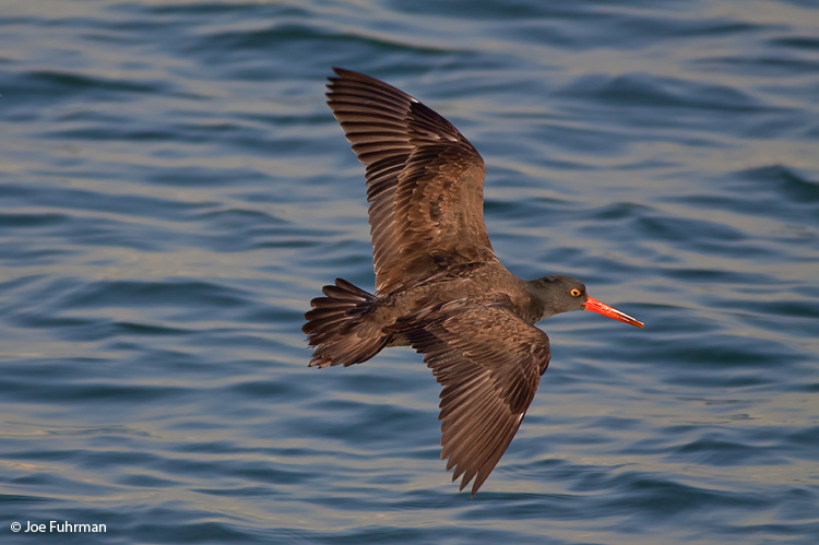 Black Oystercatcher L.A. Co., CA December 2009