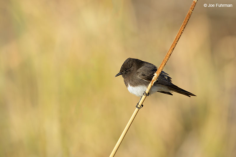 Black Phoebe Riverside Co., CA December 2015