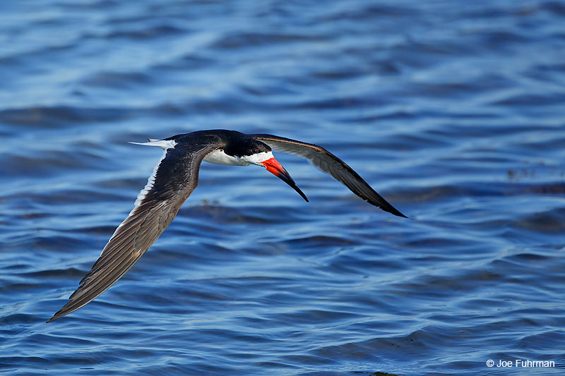 Black Skimmer Orange Co., CA    July 2016