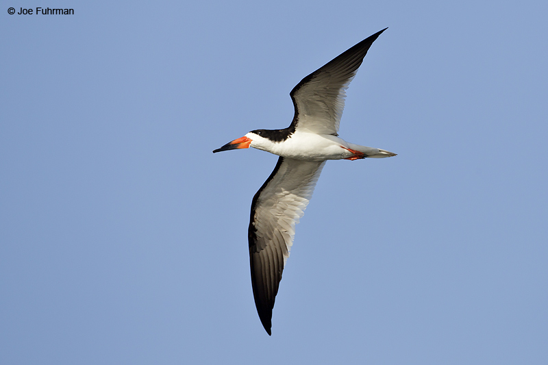 Black Skimmer Orange Co., CA August 2012