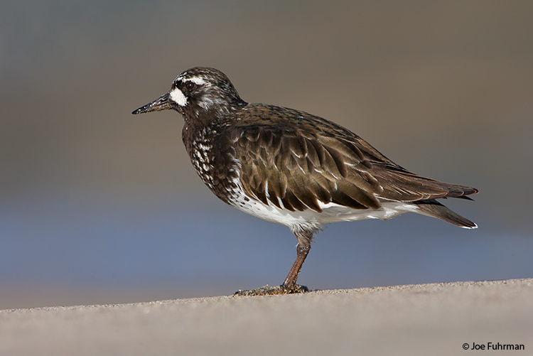 Black Turnstone L.A. Co., CA April 2008