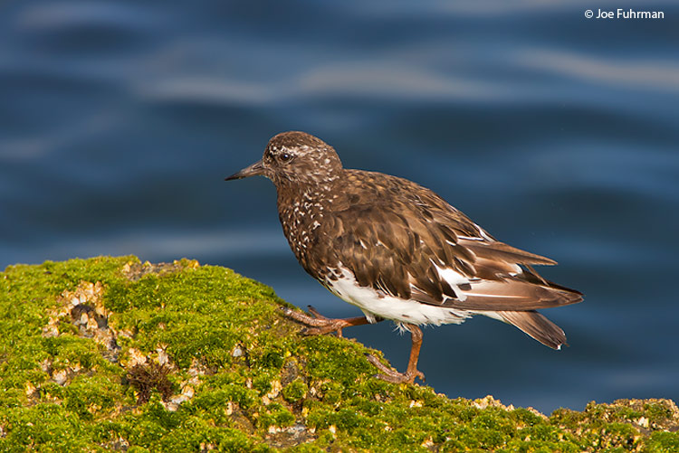 Black Turnstone L.A. Co., CA August 2006