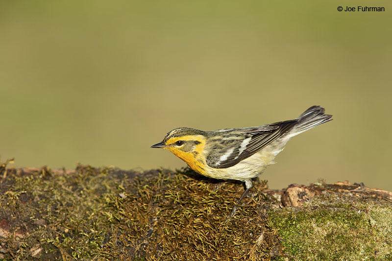 Blackburnian Warbler Galveston, TX April 2014