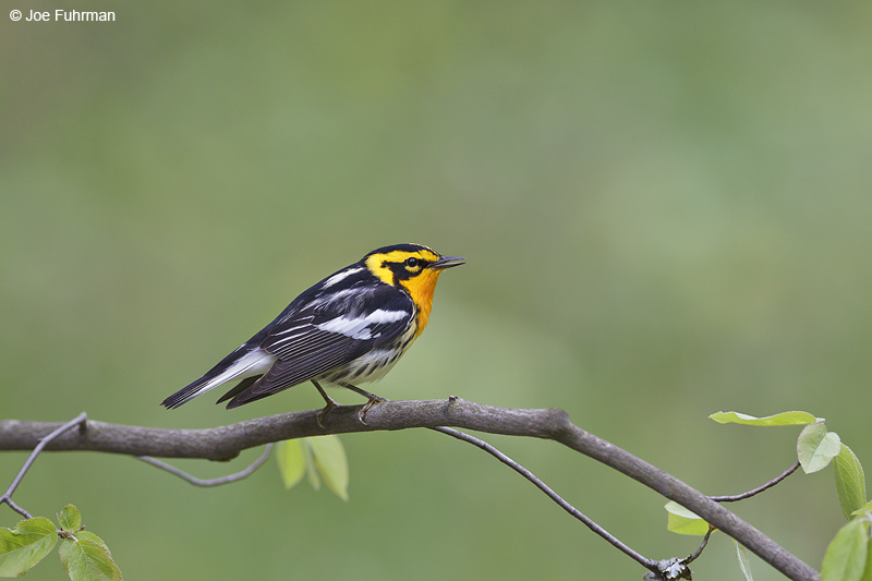 Blackburnian Warbler Cattaraugus Co., NY May 2012