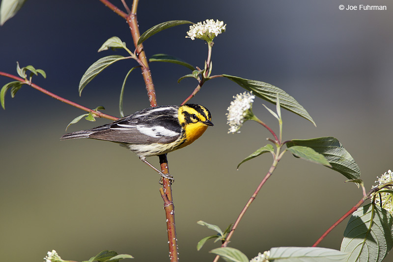 Blackburnian Warbler Chippewa Co., MI May 2010