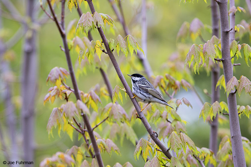 Blackpoll Warbler male Piscataquis Co., ME   May 2013