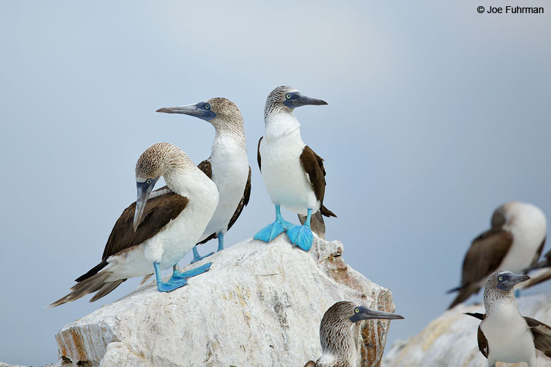 Blue-footed Booby Nayarit, Mexico   April 2015