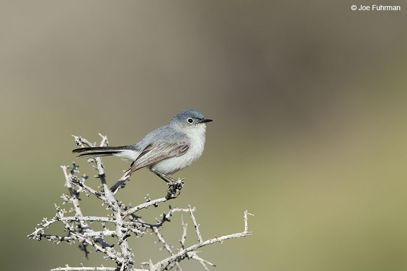 Blue-gray Gnatcatcher Clark Co., NV May 2014
